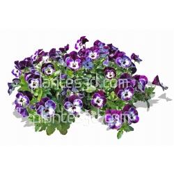 Viola cornuta-Petite pensée-Violette cornue