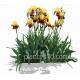 Iris barbata-elatior 'accent'- Iris germanica