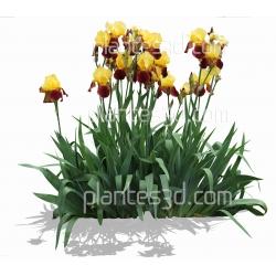 Iris barbata-elatior 'accent'- Iris des jardins