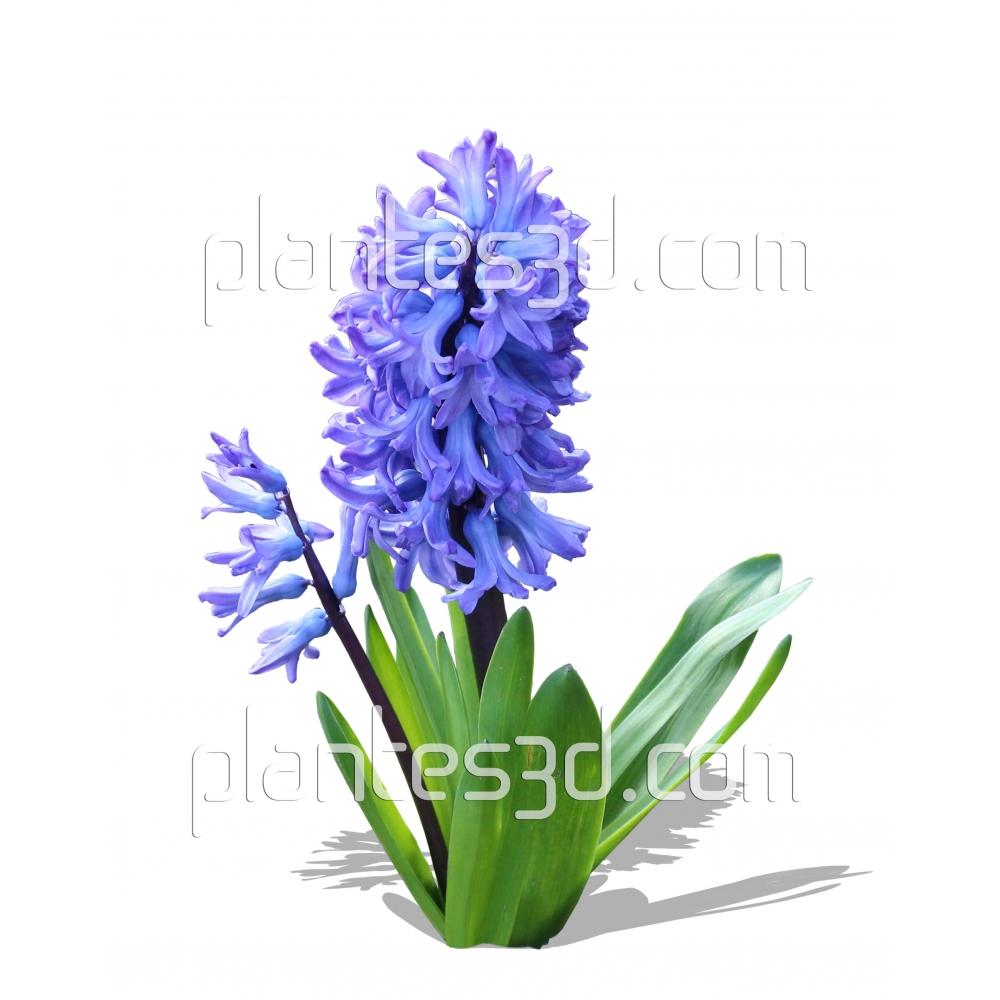 Hyacinthus-Jacinthe