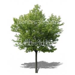 Acer saccharinum- Erable