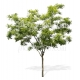 Fraxinus excelsior-Tree cutout