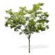 Fraxinus excelsior- Frêne