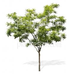 Fraxinus ornus-Tree cutout
