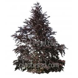Fagus sylvatica purpurea-Hêtre pourpre