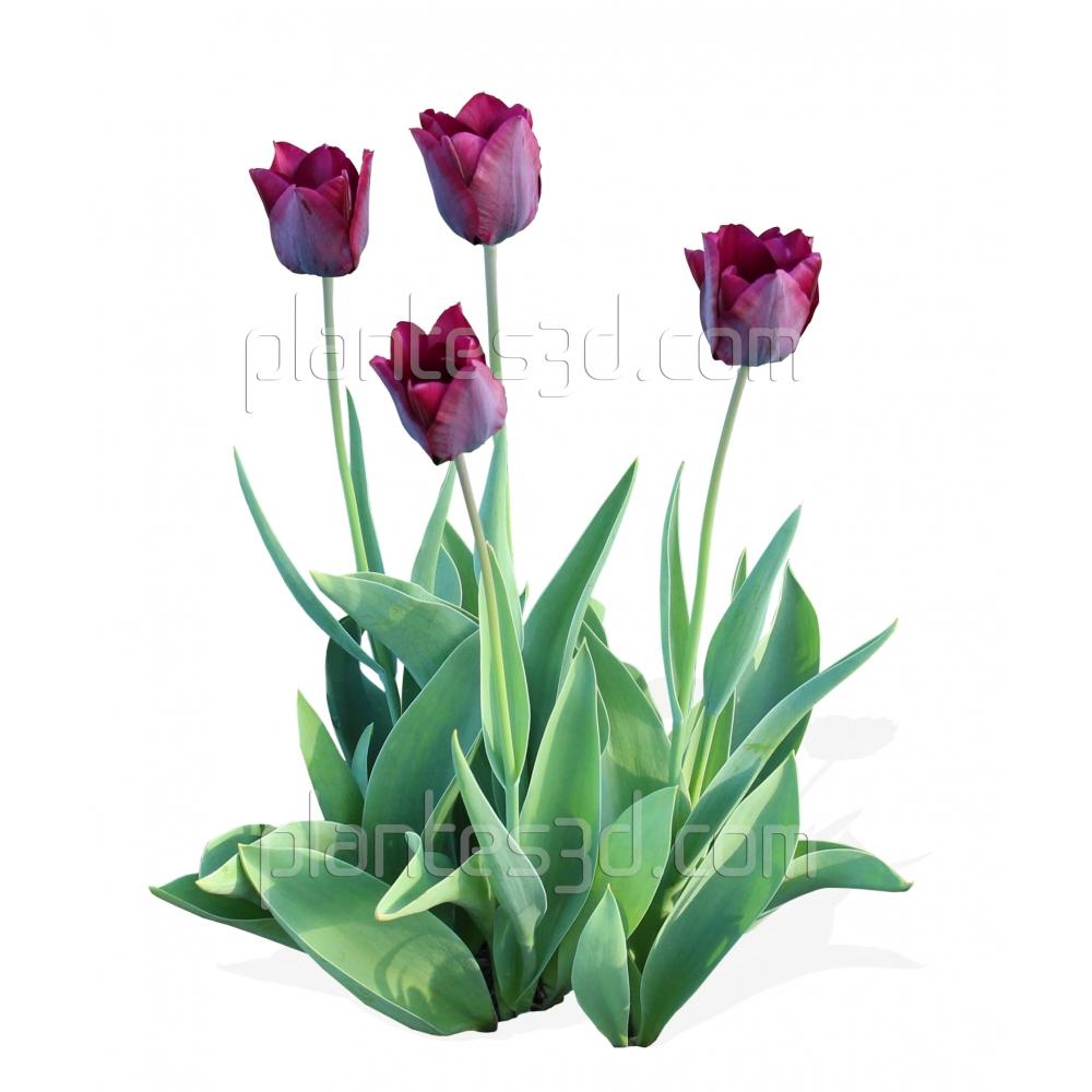 Tulipa-Tulipe rose violet