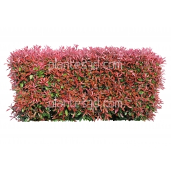 Haie Photinias