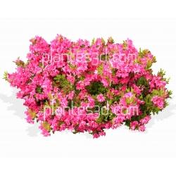 Rhododendron Azalea