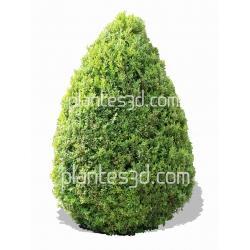 Buxus pyramidalis-Buis pyramidal