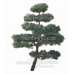 Pinus topiarus- Pin topaire ou taille en nuage