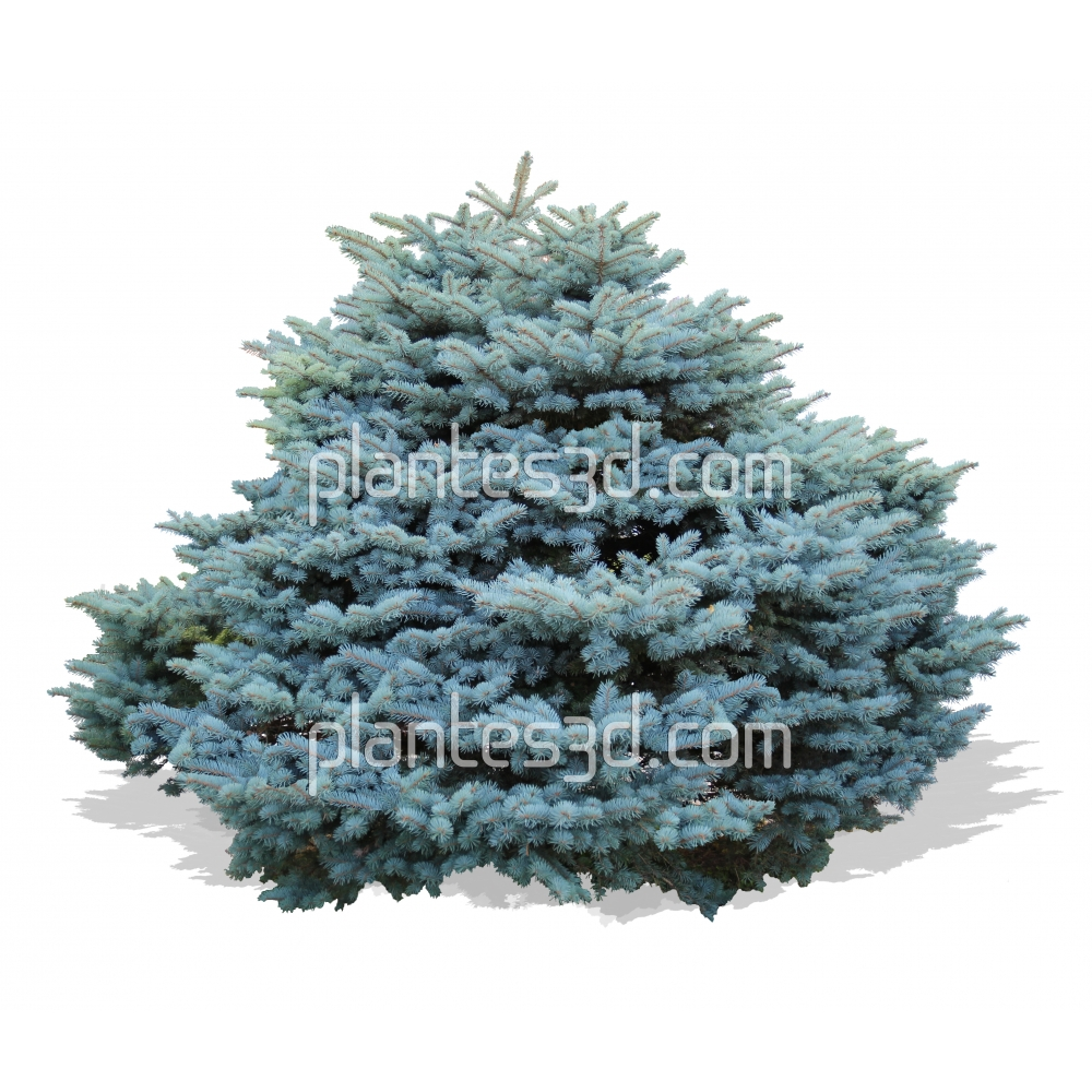 Picea pungens glauca- Pin nain bleu