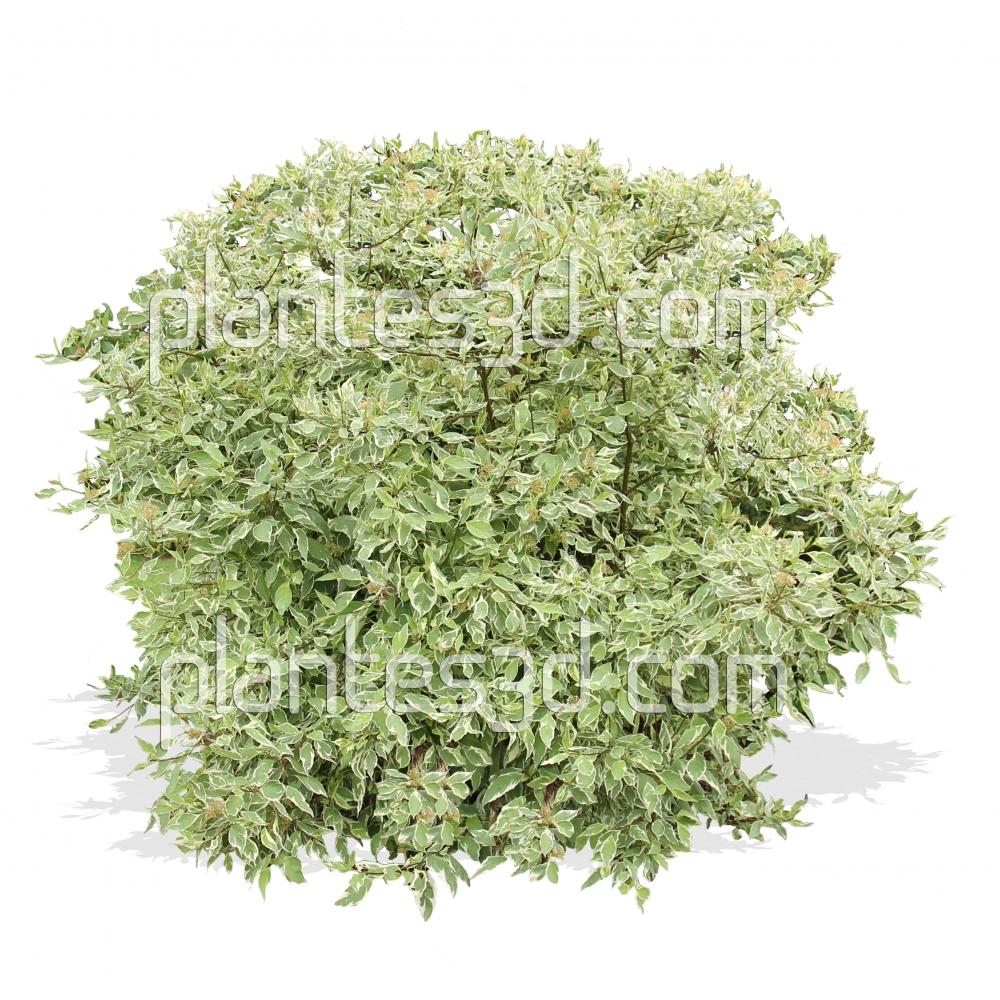 Cornus alba elegantissima-Cornouiller blanc