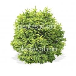 Picea omorika nana- Serbische Kegel-Fichete