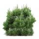 Pinus mugo mughus-Pin de montagne Mughus