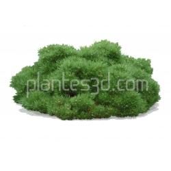 Pinus mugo gnom- Pin nain gnom