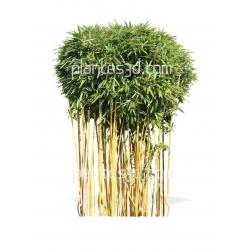 Phyllostachys aurea tiges-Bambou tiges