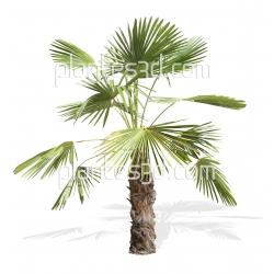Trachycarpus fortunei-Palmier de Chine