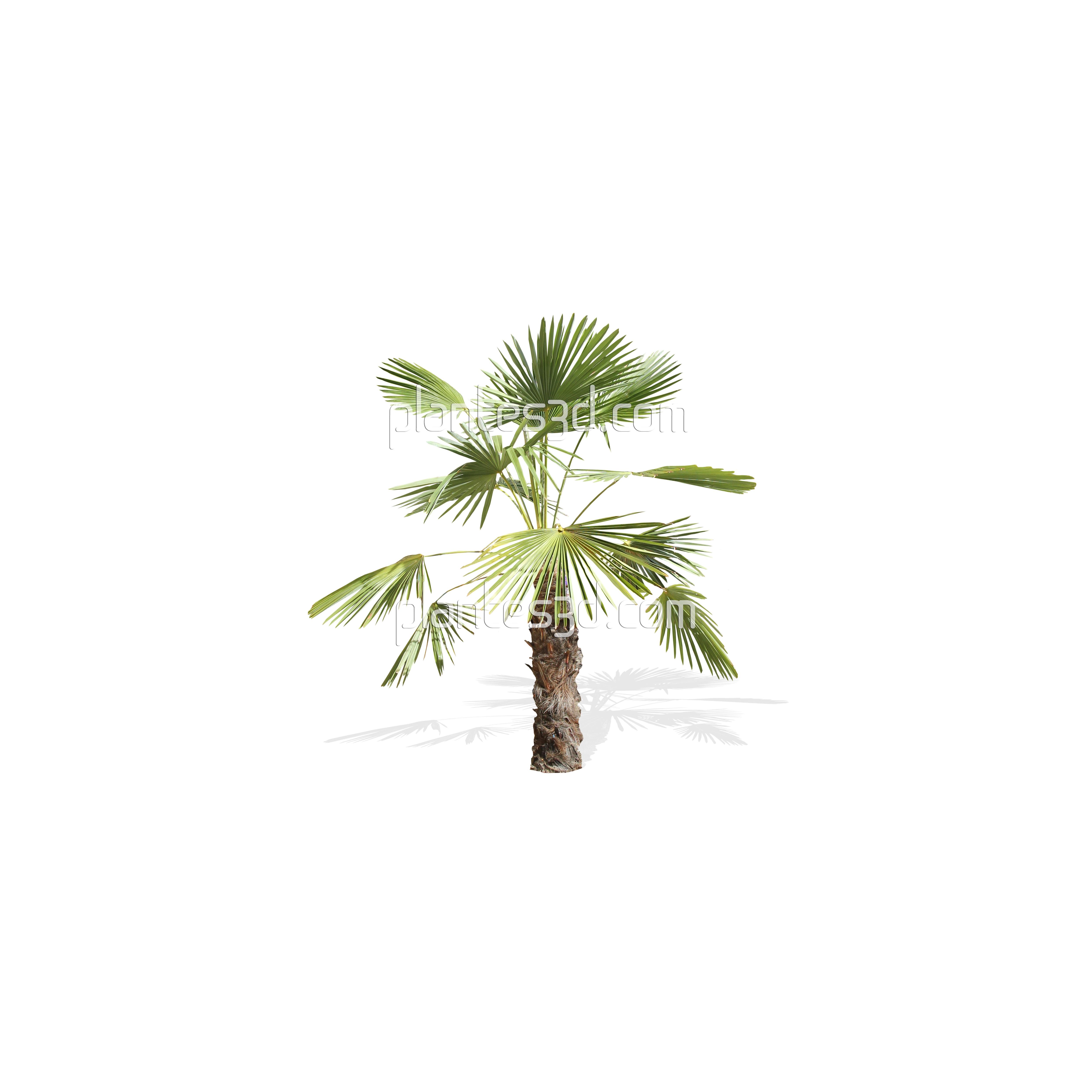Palmier sur fond transparent trachycarpus pour rendus - Image palmier ...