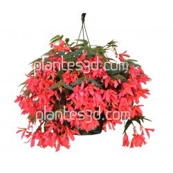 Begonia Pot
