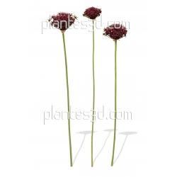 Allium atropurpureum-Ail d'ornement