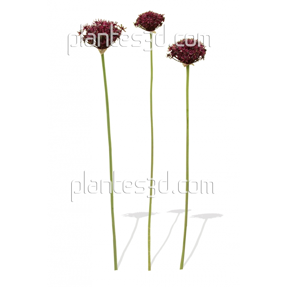 allium atropurpureum ail d 39 ornement plantes3d. Black Bedroom Furniture Sets. Home Design Ideas