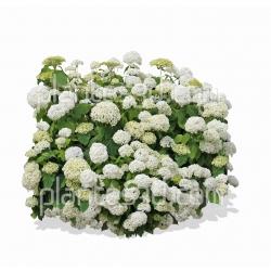 Hydrangea arborescens 'Annabelle'-Hortensia