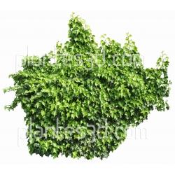 Hedera Helix elegantissima-Lierre