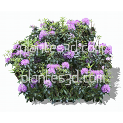 Rhododendron-photoshop