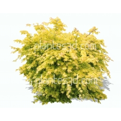 Acer japonicum aureum