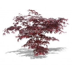 acer palmatum atropurpureum plantes3d. Black Bedroom Furniture Sets. Home Design Ideas