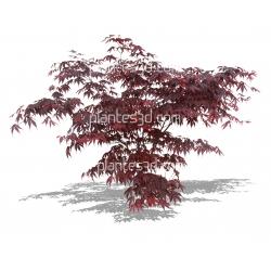 Acer palmatum 'atropurpureum'-Erable du Japon