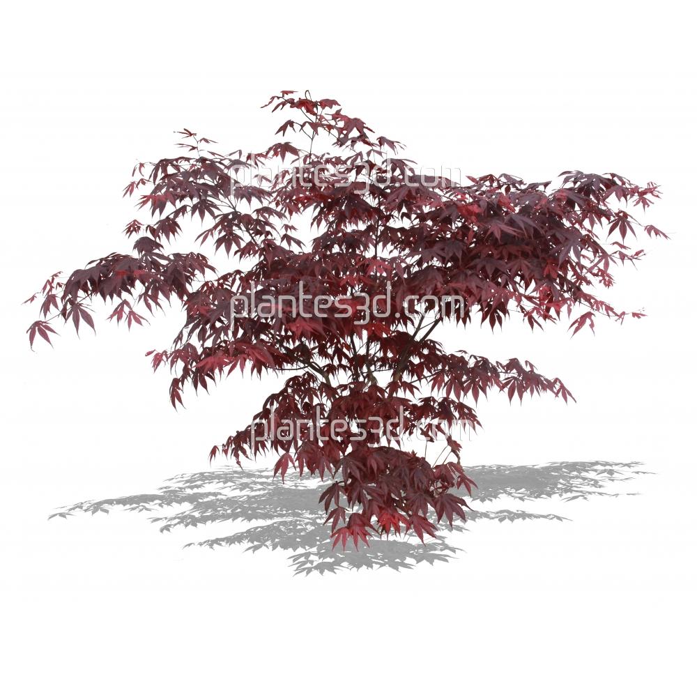 Acer palmatum atropurpureum-Erable du Japon