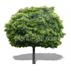 Acer platanoides 'globosum'
