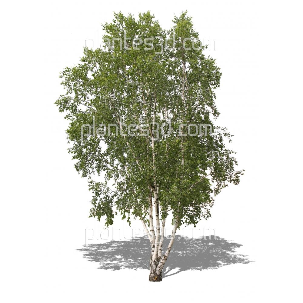 Betula pendula 'alba'-Bouleau blanc