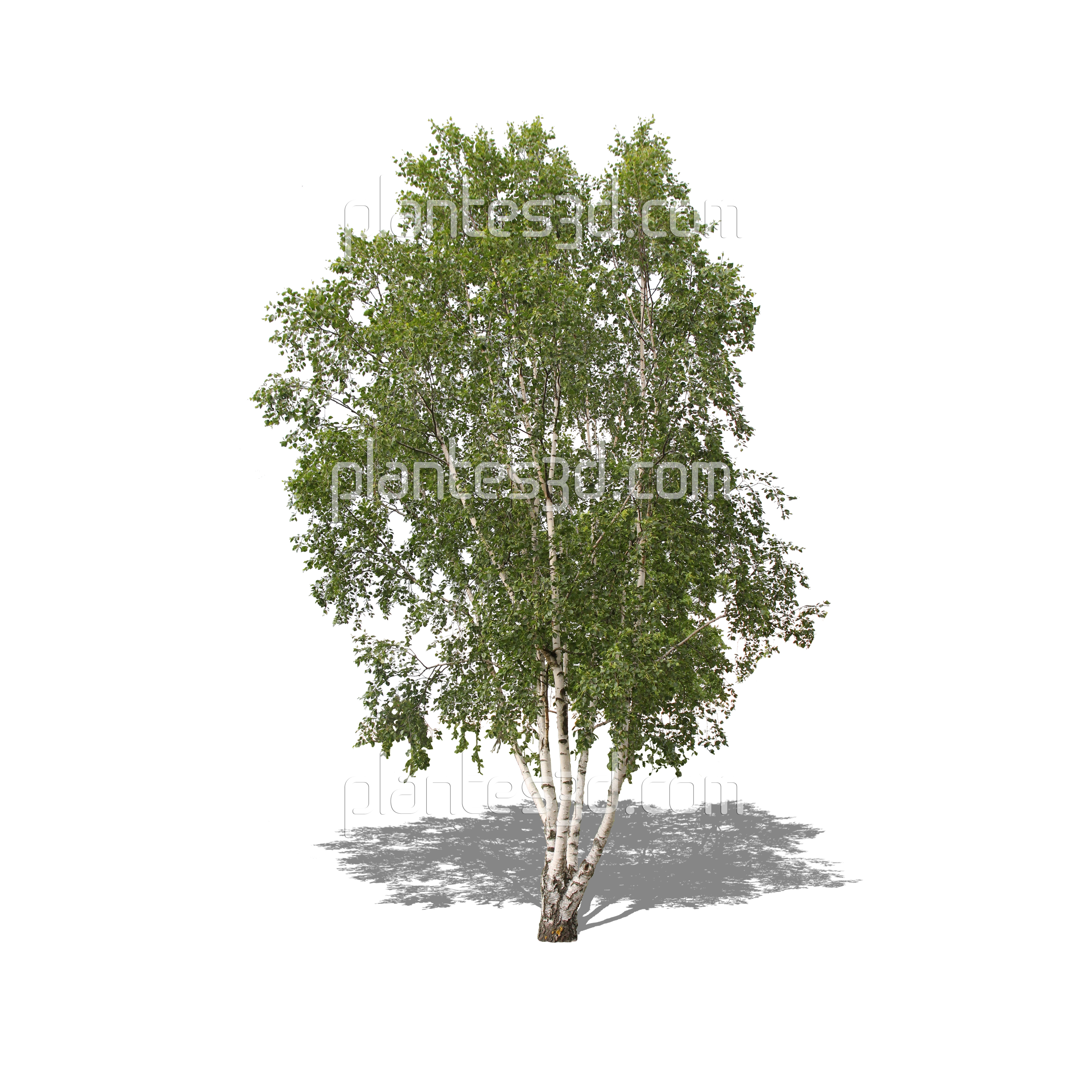 betula arbre d tour bouleau blanc png pour 3d. Black Bedroom Furniture Sets. Home Design Ideas