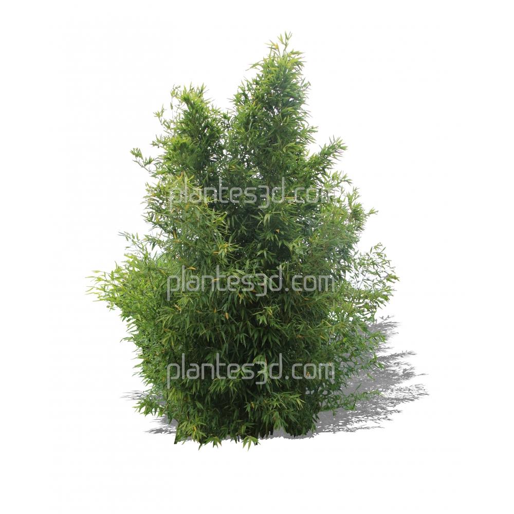 Phyllostachys aurea-Bambou