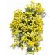 Alyssum saxatile détouré-Corbeille d'or 2D