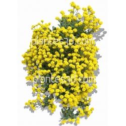 Alyssum saxatile-Corbeille d'or