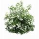 Viburnum opulus roseum-Boule de neige