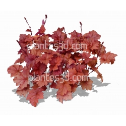 Heuchera palace purple-Heuchere pourpre