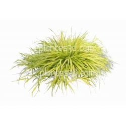 Hakonechloa macra-Herbe du Japon