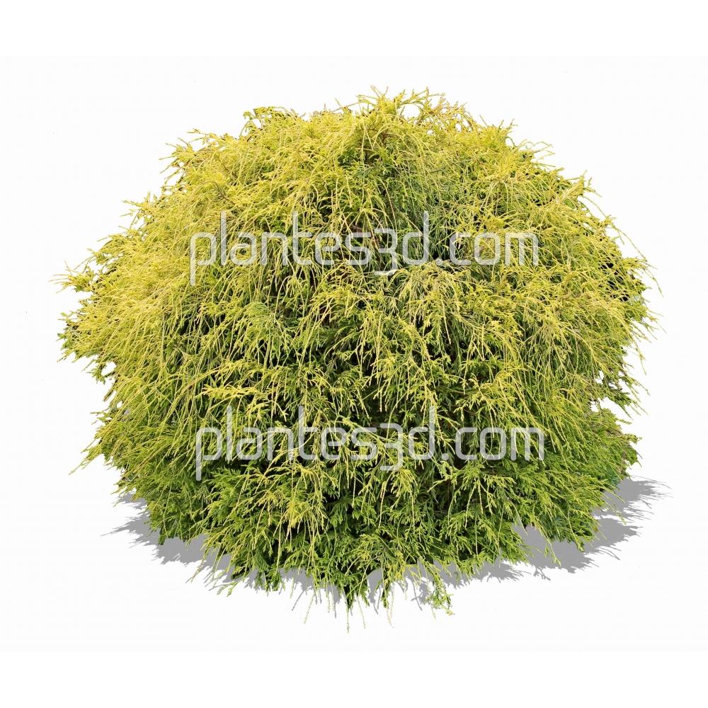 Chamaecyparis filifera sungold